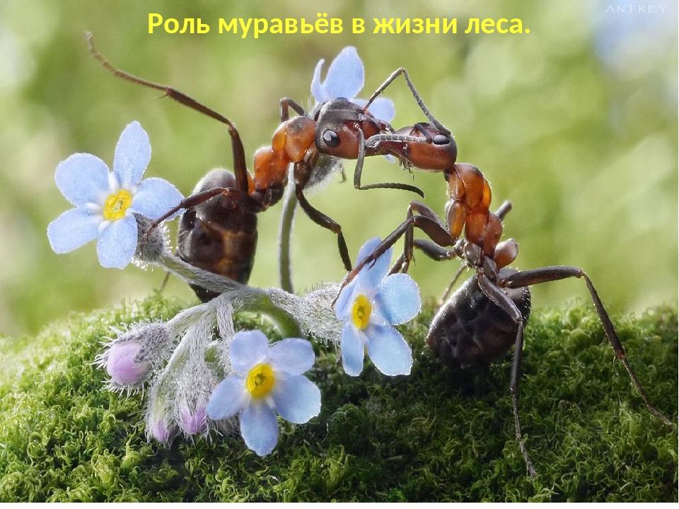 Роль муравьёв в жизни леса.