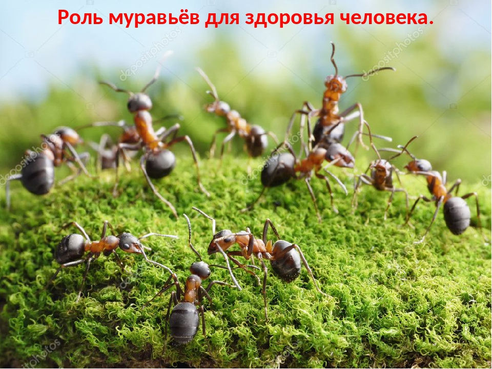 Роль муравьёв для здоровья человека.
