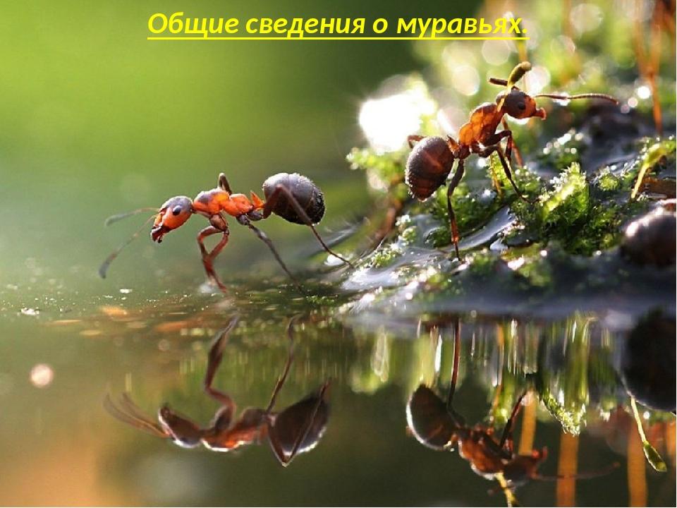 Общие сведения о муравьях.