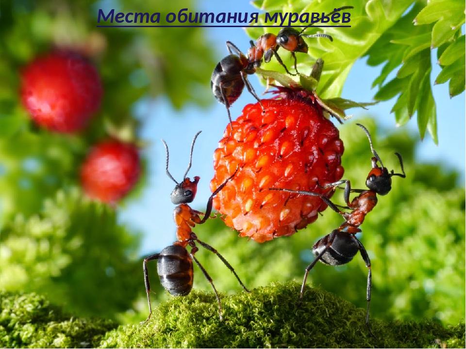 Места обитания муравьёв