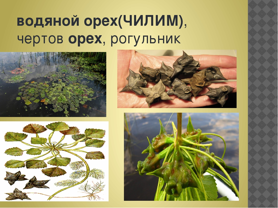 водянойорех(ЧИЛИМ), чертоворех, рогульник