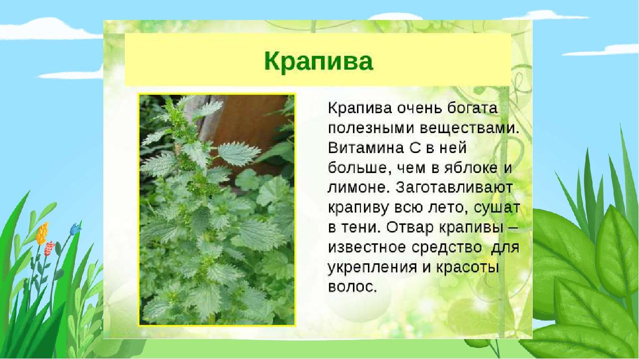картинки презентации лекарственные растения йоманс ничем отличался
