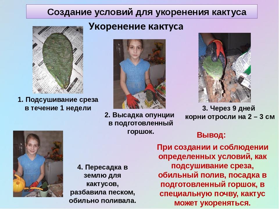 Создание условий для укоренения кактуса Укоренение кактуса 1. Подсушивание ср...