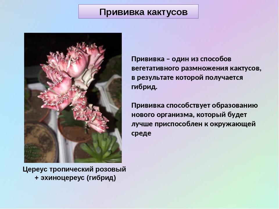 Прививка кактусов Прививка – один из способов вегетативного размножения какту...