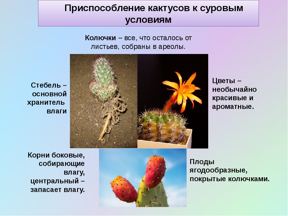 Приспособление кактусов к суровым условиям Корни боковые, собирающие влагу,...