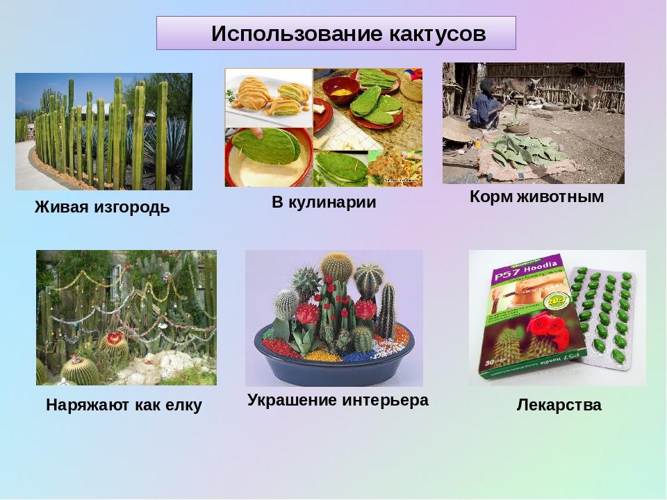 Использование кактусов В кулинарии Корм животным Живая изгородь Лекарства Нар...