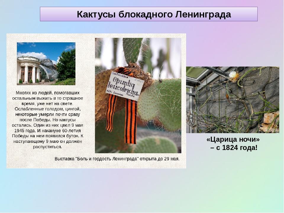 Кактусы блокадного Ленинграда «Царица ночи» – с 1824 года!