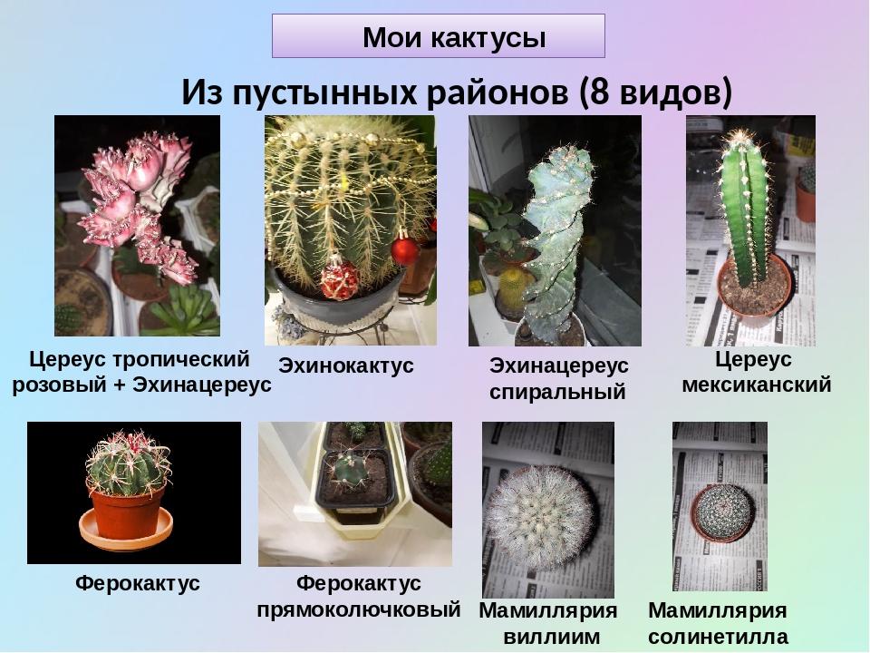 Мои кактусы Из пустынных районов (8 видов) Эхинокактус Цереус тропический роз...