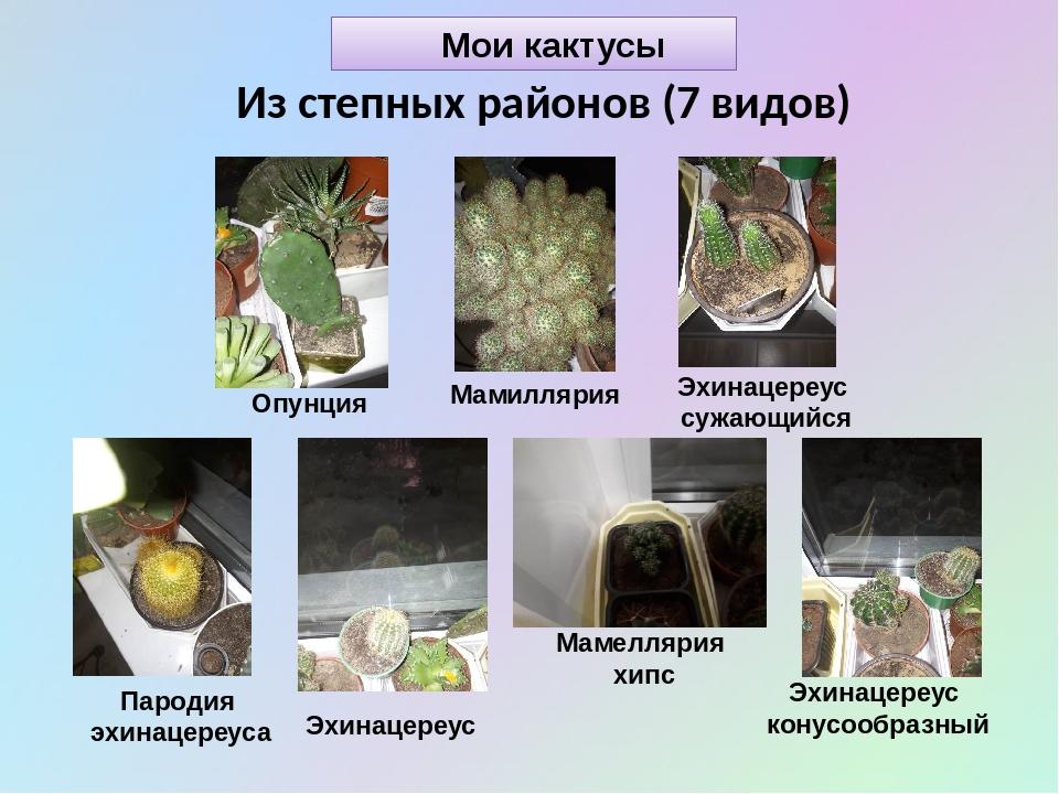 Мои кактусы Из степных районов (7 видов) Мамиллярия Пародия эхинацереуса Маме...