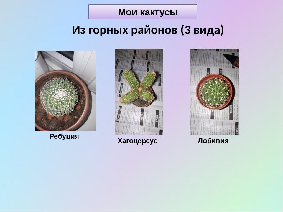 Мои кактусы Из горных районов (3 вида) Ребуция Хагоцереус Лобивия