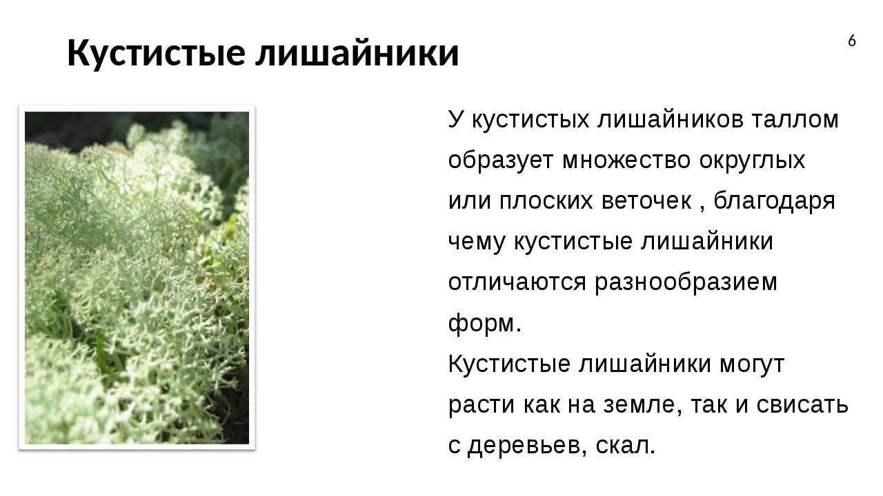 Кустистые лишайники У кустистых лишайников таллом образует множество округлых...
