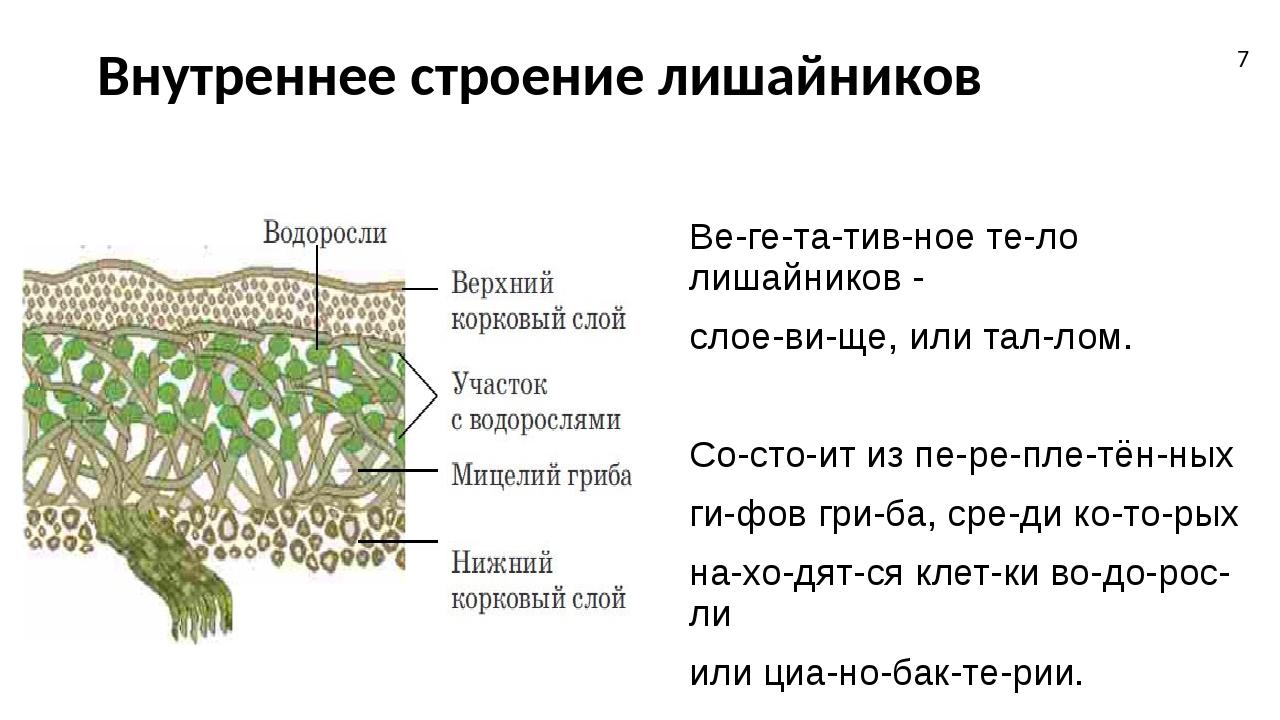 Внутреннее строение лишайников Вегетативное тело лишайников - слоевище...