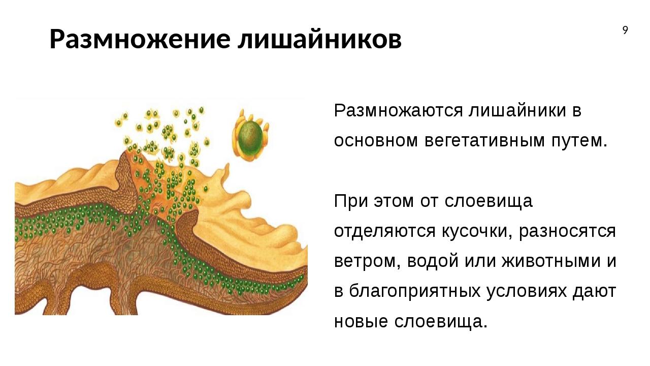 Размножение лишайников Размножаются лишайники в основном вегетативным путем....