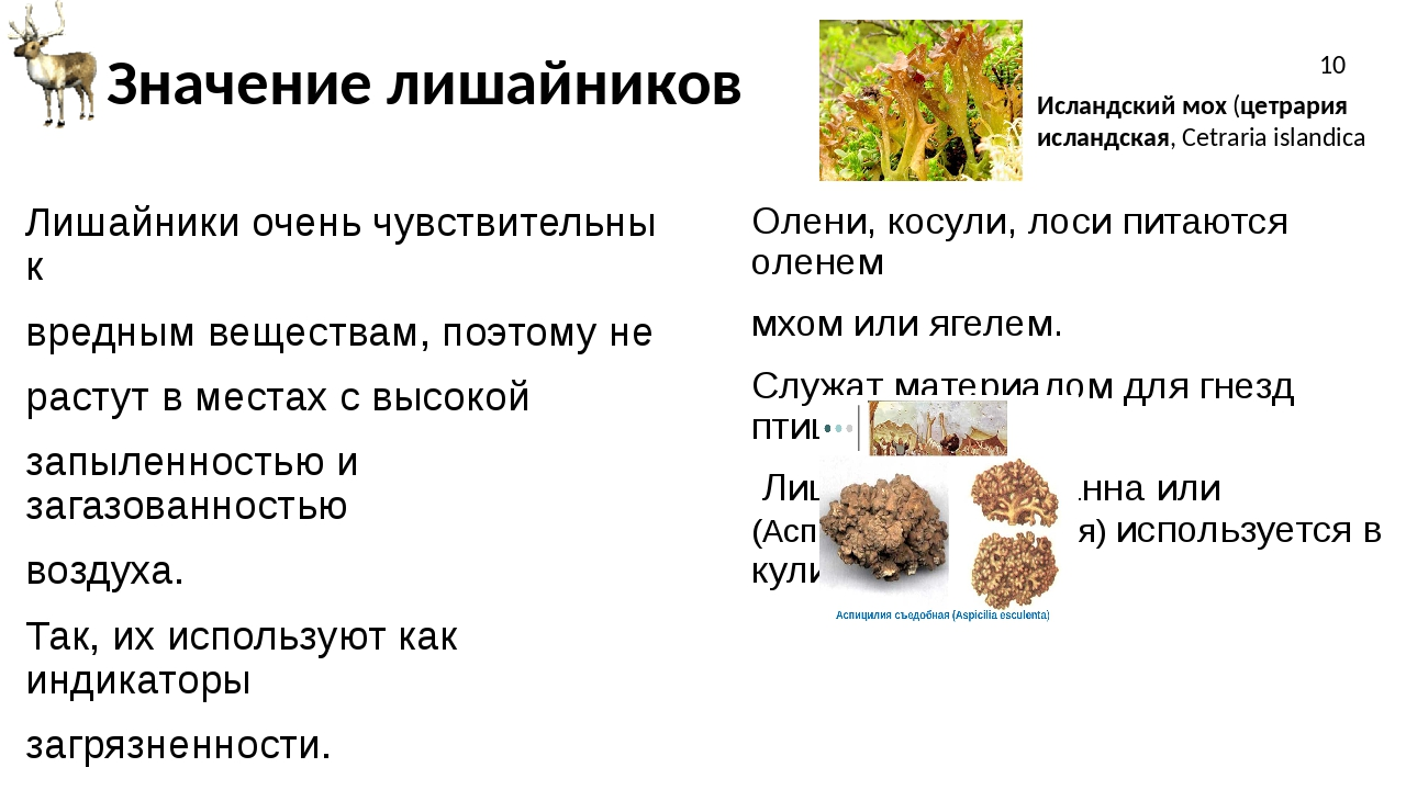 Значение лишайников Лишайники очень чувствительны к вредным веществам, поэтом...