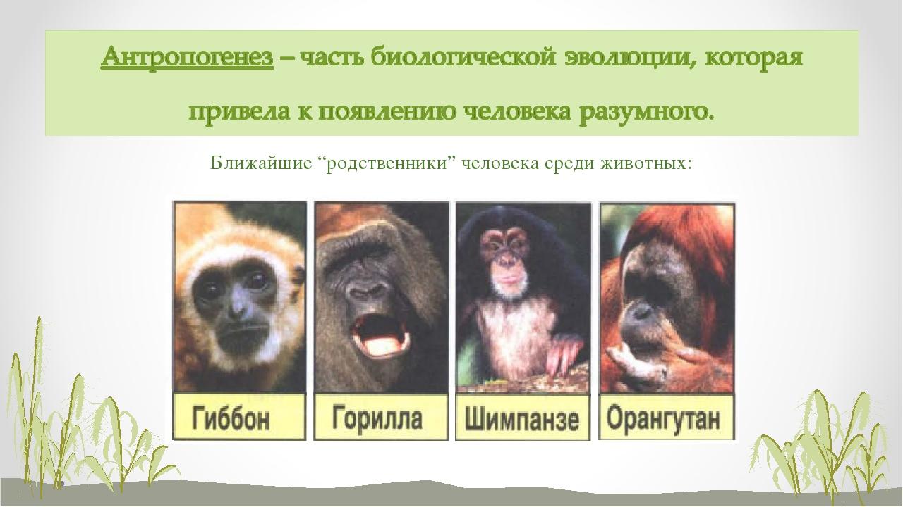 """Ближайшие """"родственники"""" человека среди животных:"""