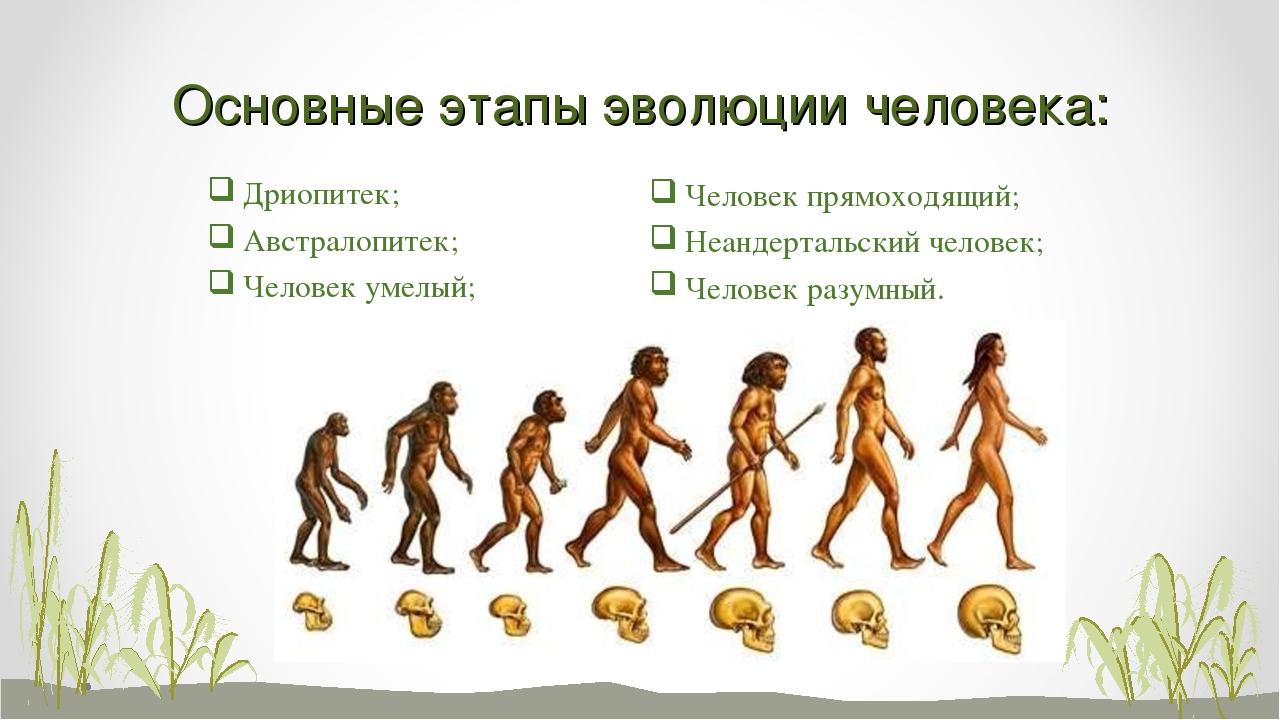 Основные этапы эволюции человека: Дриопитек; Австралопитек; Человек умелый; Ч...