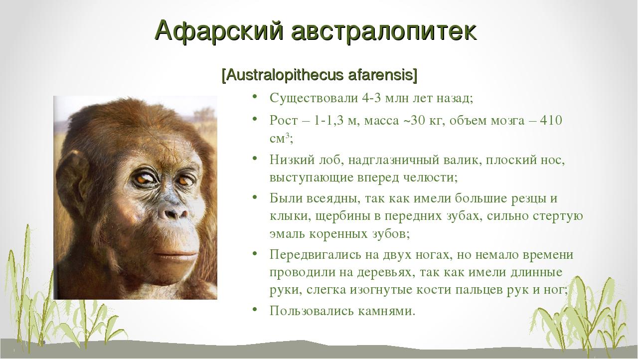 Афарский австралопитек [Australopithecus afarensis] Существовали 4-3 млн лет...