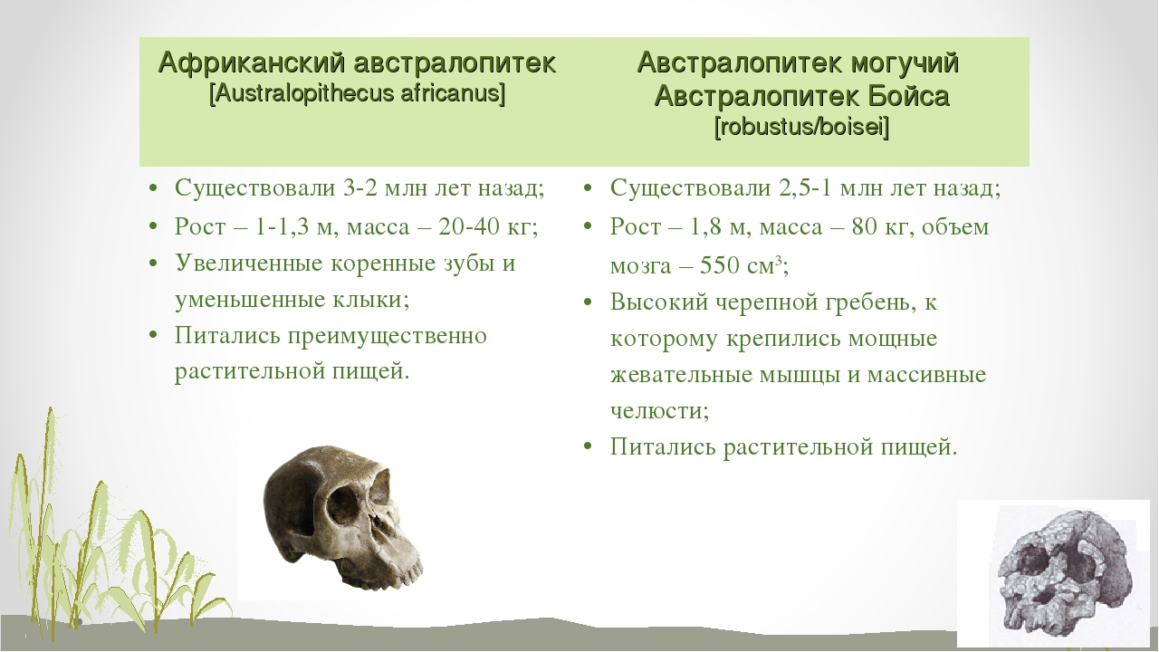 Африканский австралопитек [Australopithecus africanus] Австралопитек могучий...