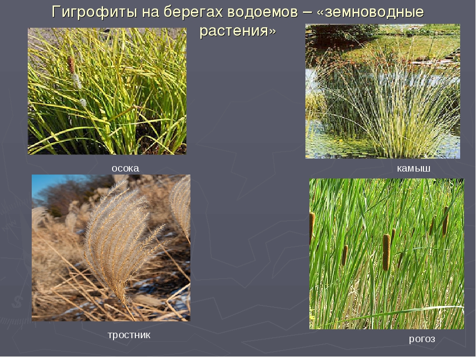 Гигрофиты на берегах водоемов – «земноводные растения» осока тростник камыш р...
