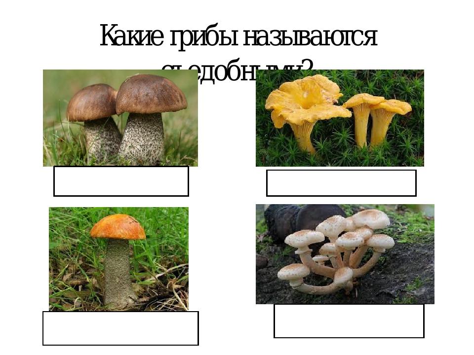 Какие грибы называются съедобными? ПОДБЕРЁЗОВИК ЛИСИЧКИ ПОДОСИНОВИК ОПЯТА