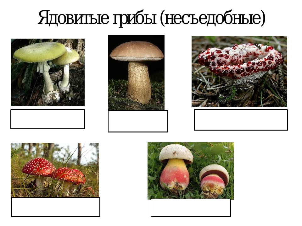 Ядовитые грибы (несъедобные) БЛЕДНАЯ ПОГАНКА МУХОМОР КРОВАВЫЙ ЗУБ или КЛУБНИК...