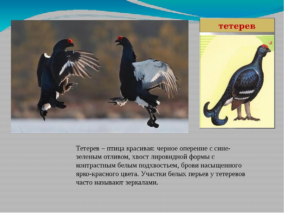 Тетерев – птица красивая: черное оперение с сине-зеленым отливом, хвост лиров...