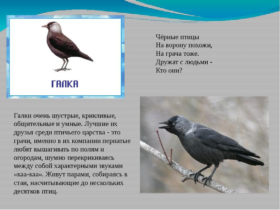 Чёрные птицы На ворону похожи, На грача тоже. Дружат с людьми - Кто они? Галк...
