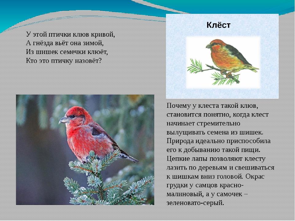У этой птички клюв кривой, А гнёзда вьёт она зимой, Из шишек семечки клюёт, К...