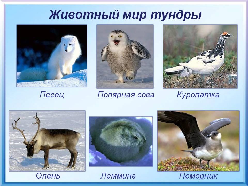 животные обитающие в тундре список и фото
