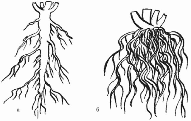 Картинки стержневой корневой системы