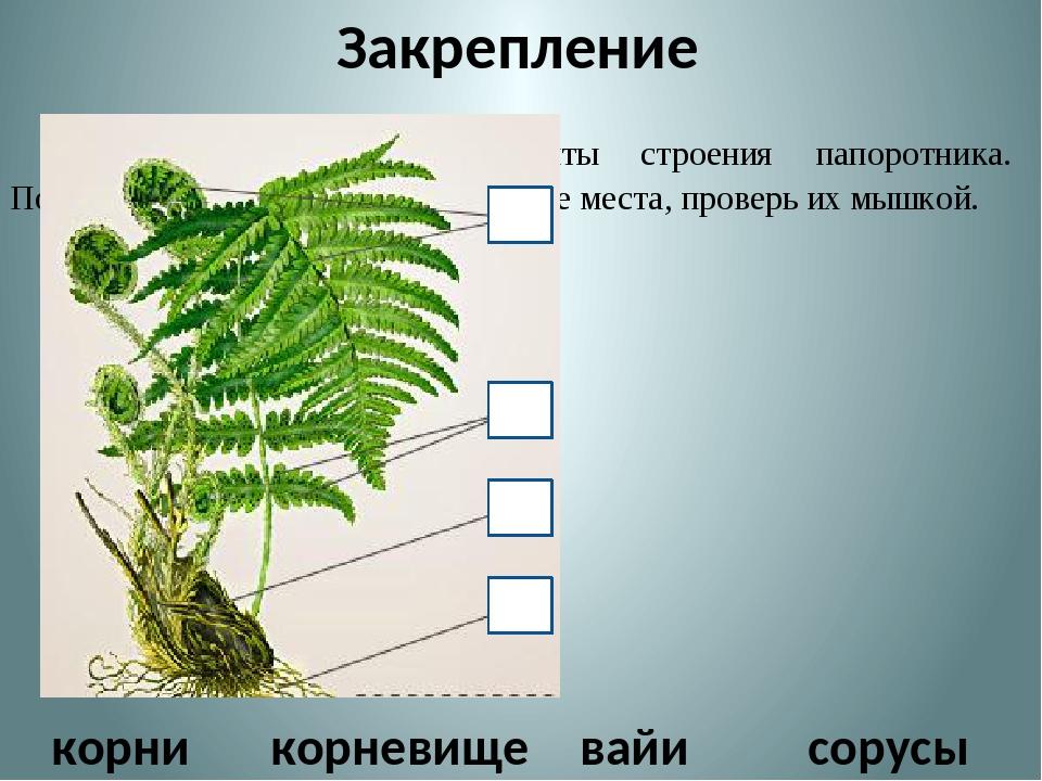 Закрепление Определите основные элементы строения папоротника. Поместите их...