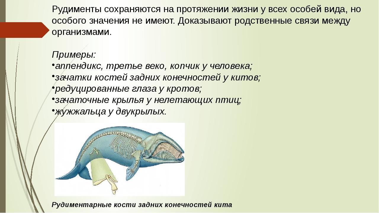 Рудиментысохраняются на протяжении жизни у всех особей вида, но особого знач...