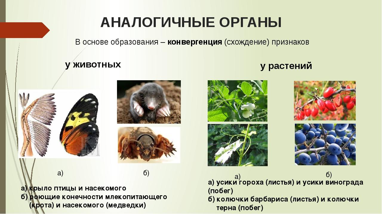 АНАЛОГИЧНЫЕ ОРГАНЫ у животных у растений а) крыло птицы и насекомого б) роющи...