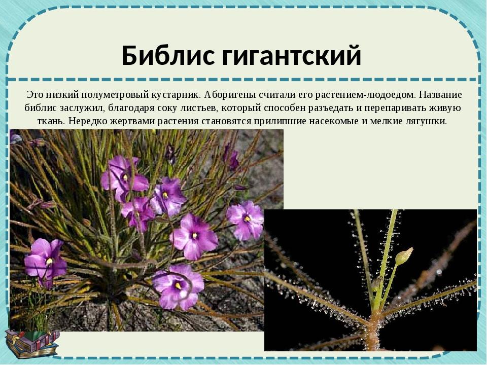 Это низкий полуметровый кустарник. Аборигены считали его растением-людоедом....
