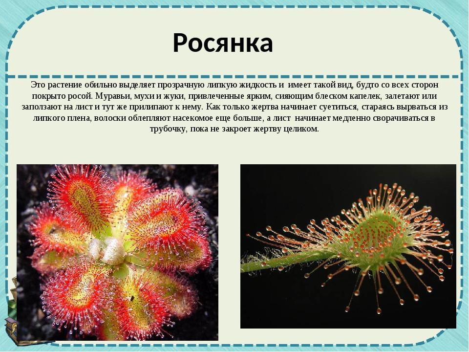 Это растение обильно выделяет прозрачную липкую жидкость и имеет такой вид, б...