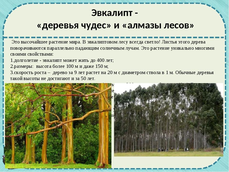 Это высочайшее растение мира. В эвкалиптовом лесу всегда светло! Листья этог...