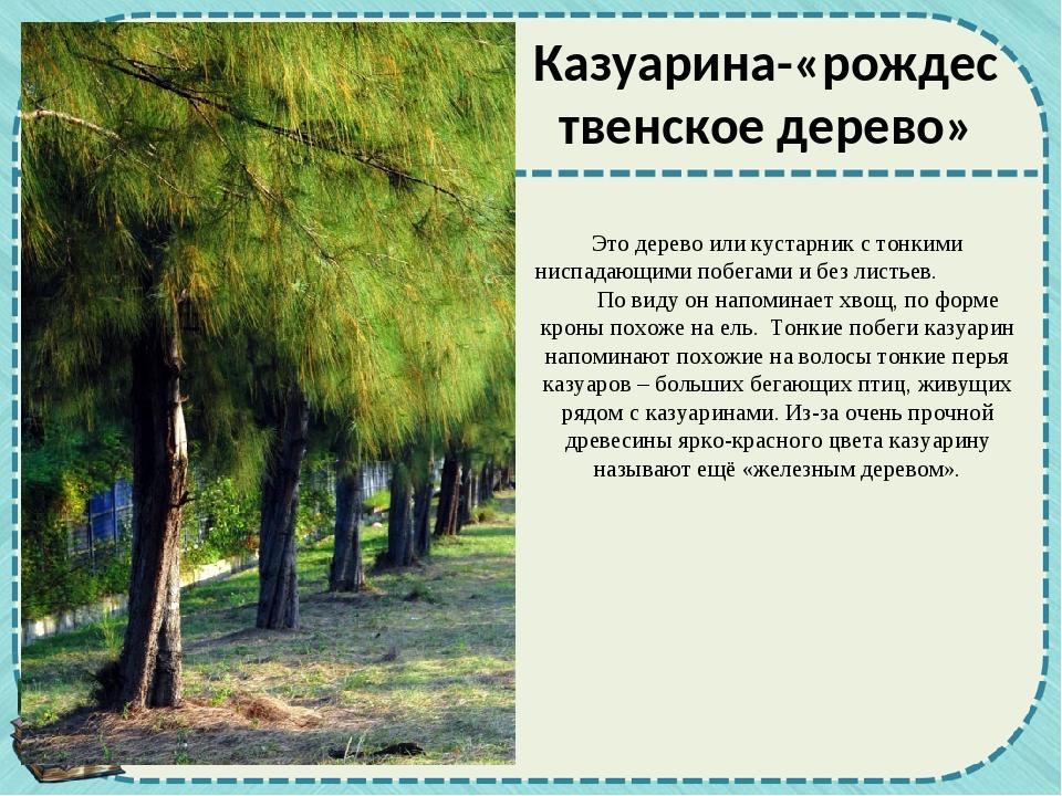Это дерево или кустарник с тонкими ниспадающими побегами и без листьев. По ви...