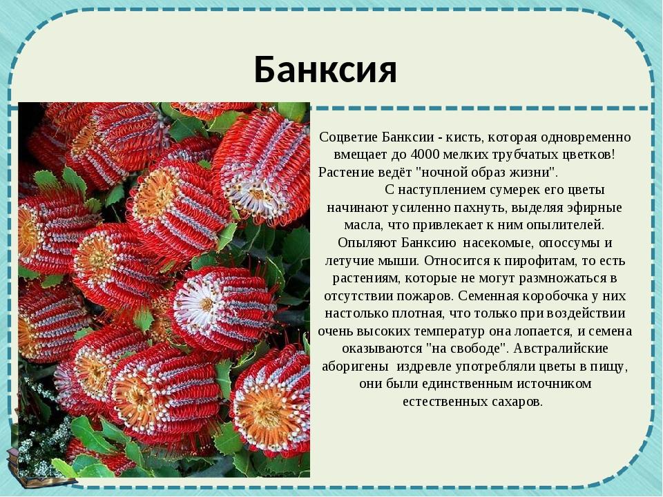 Соцветие Банксии - кисть, которая одновременно вмещает до 4000 мелких трубчат...