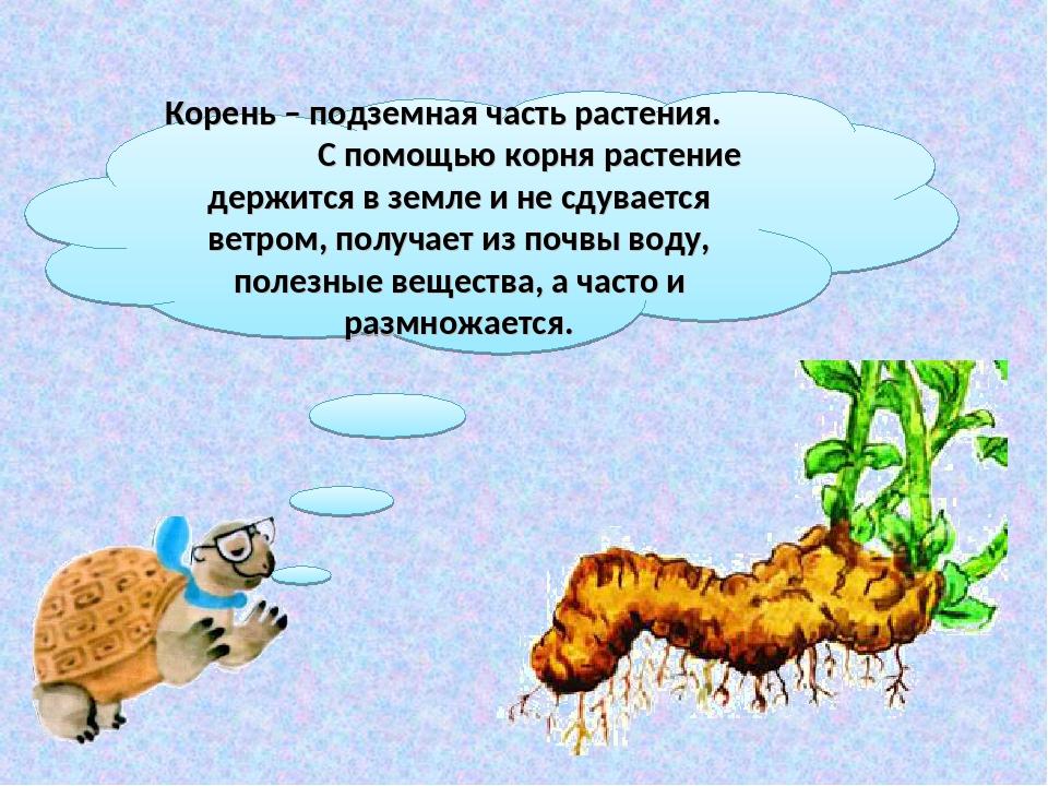 Корень – подземная часть растения. С помощью корня растение держится в земле...