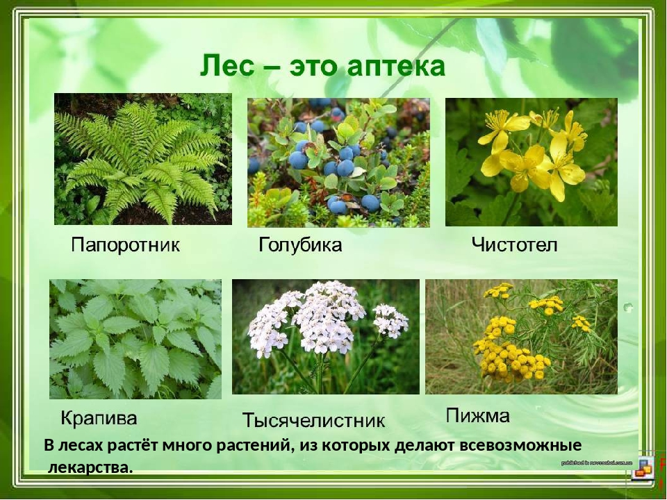 Растения растущие в лесу картинки и названия