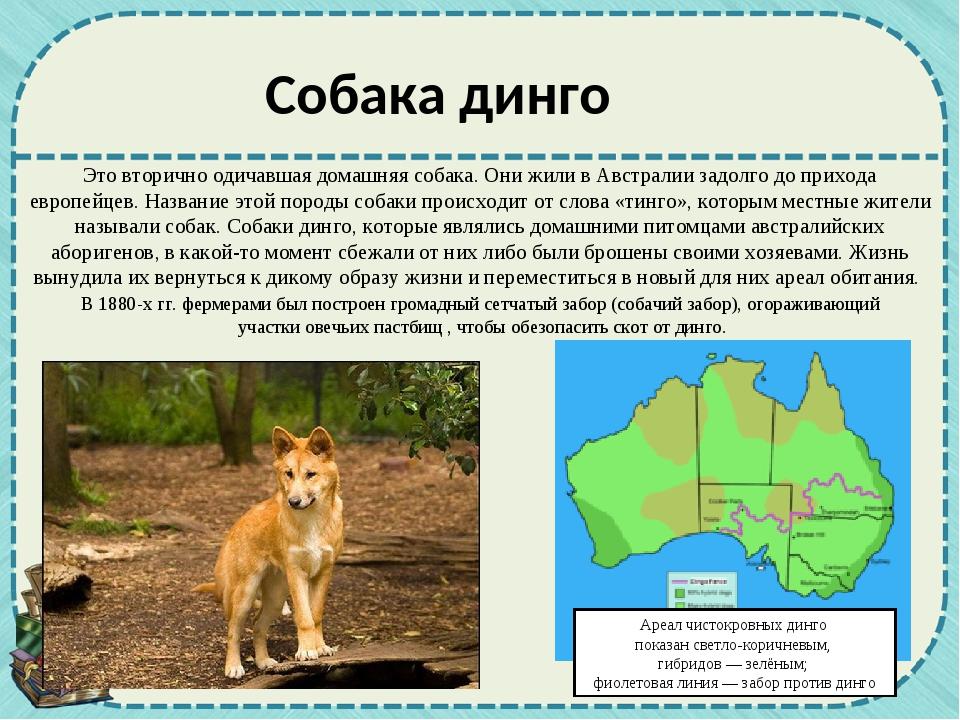 Собака динго Это вторично одичавшая домашняя собака. Они жили в Австралии зад...