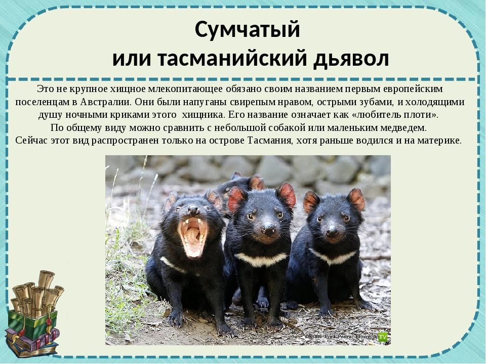 Сумчатый или тасманийский дьявол Этоне крупноехищное млекопитающее обязано...