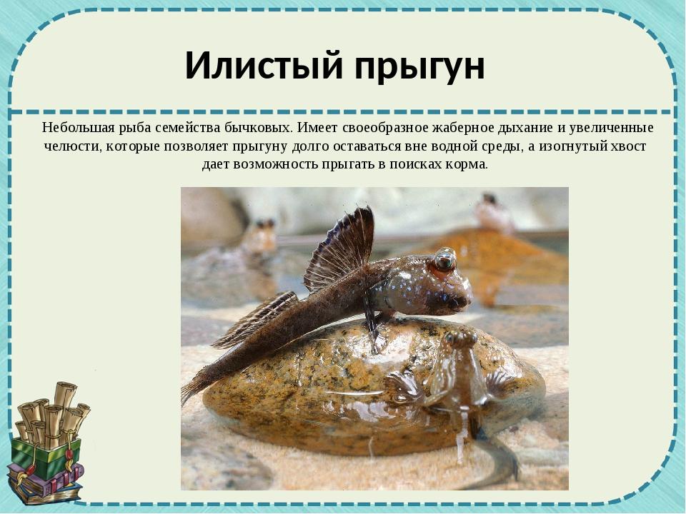 Небольшая рыба семейства бычковых. Имеет своеобразное жаберное дыхание и уве...