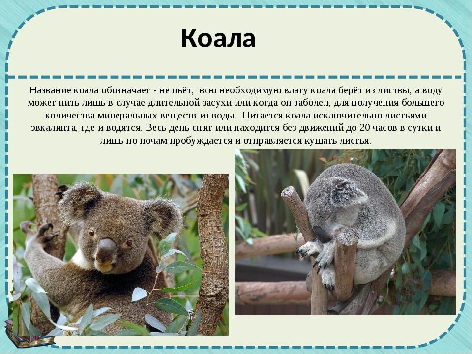 Название коала обозначает - не пьёт, всю необходимую влагу коала берёт из лис...