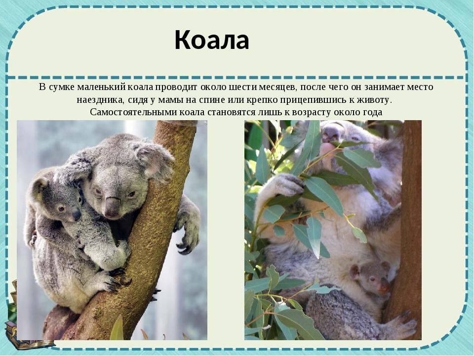 В сумке маленький коала проводит около шести месяцев, после чего он занимает...