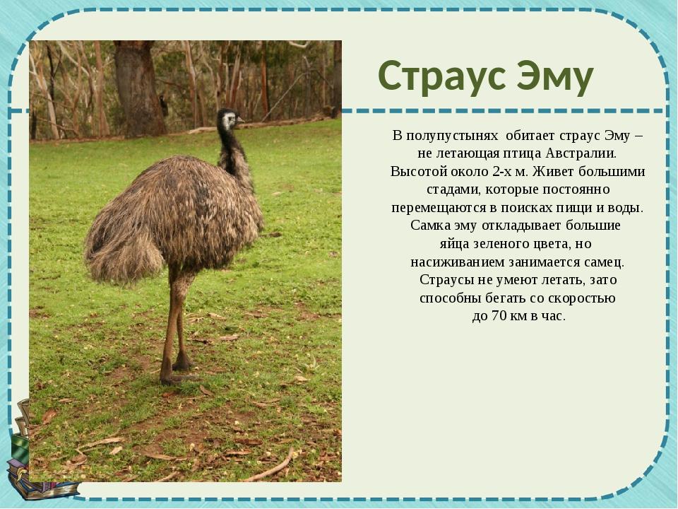 В полупустынях обитает страус Эму – не летающая птица Австралии. Высотой окол...