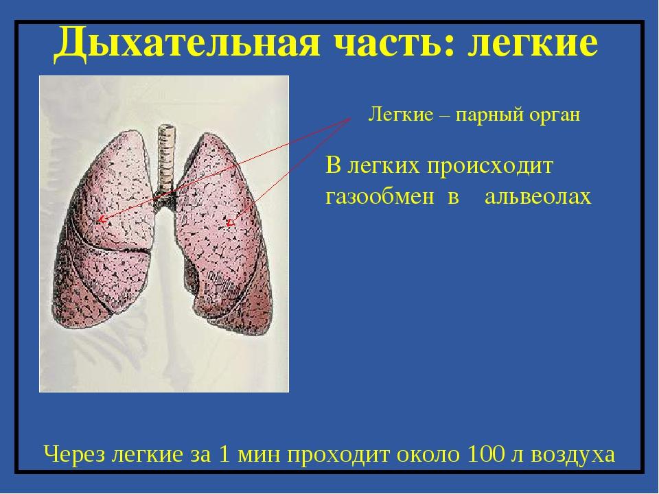 Дыхательная часть: легкие Легкие – парный орган Через легкие за 1 мин проходи...