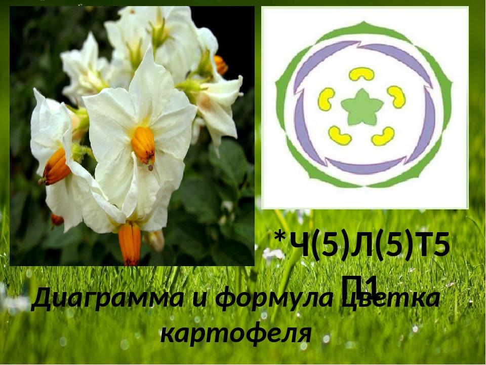 Диаграмма и формула цветка картофеля *Ч(5)Л(5)Т5П1