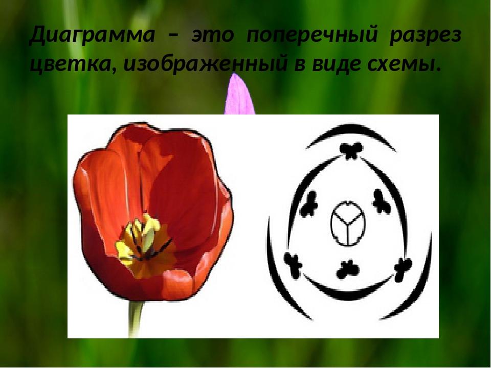 Диаграмма – это поперечный разрез цветка, изображенный в виде схемы.