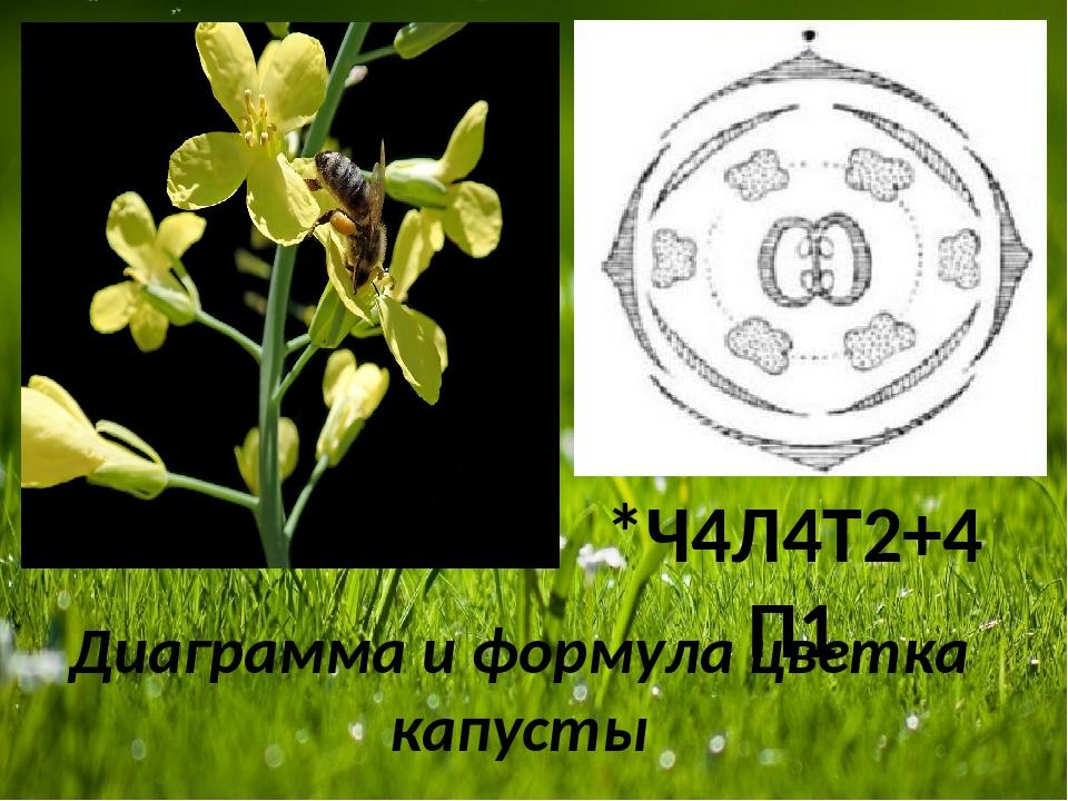 Диаграмма и формула цветка капусты *Ч4Л4Т2+4П1